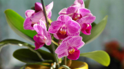Orchid - a symbol of Intersex